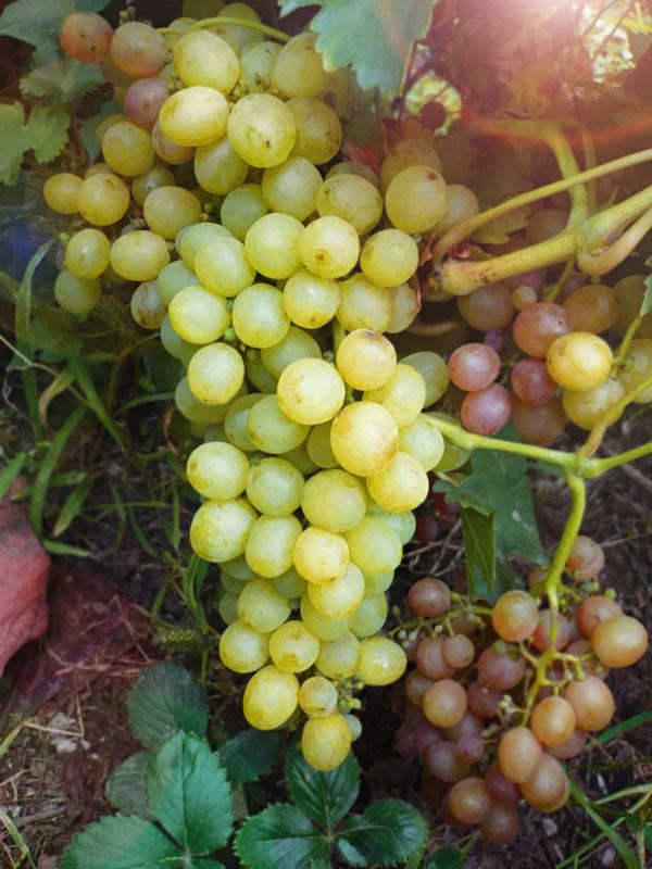 Виноград Мускат белый сверхраннийВиноград<br>Созревает в начале августа. Один из самых ранних по созреванию<br>ягод сорт. Ягода средней величины, белая, с ярко выраженным<br>мускатным вкусом и ароматом, очень сладкая, сахаристость 20 %.<br>
