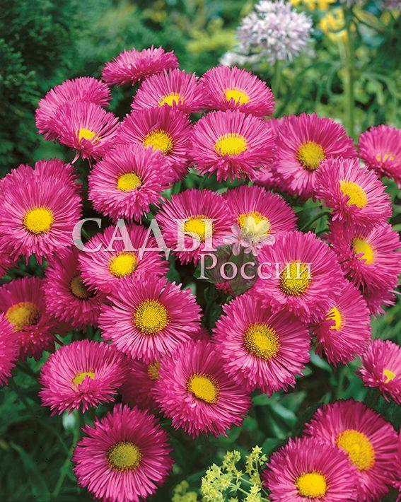 Эригерон Фостер ЛайблингМноголетние травянистые культуры<br>Многолетнее растение. Листья широкие, шероховатые.<br>Над ними возвышаются мощные стебли, густо усыпанные цветами сочного розового колера диаметром<br>до 5 см.<br>