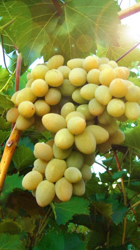 Виноград ПлевенВиноград<br>Любительское название этого сорта — Феномен, что вполне оправдано его<br>селекционными свойствами.<br>