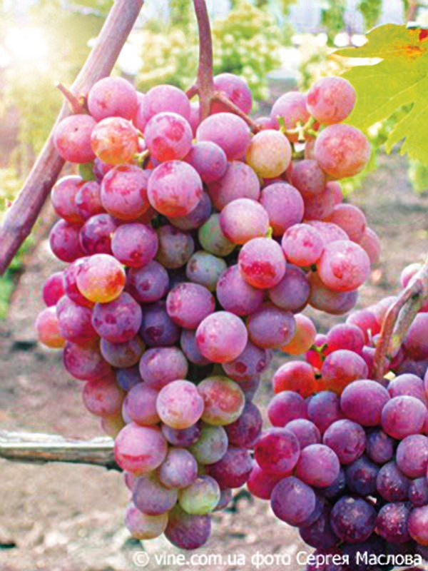 Виноград Русский раннийВиноград<br>Неожиданно сорт Русский ранний оказался самым ранним и среди<br>ранних сортов самым вкусным.<br>