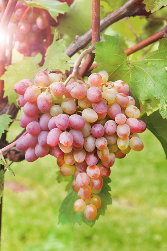 Виноград СамохваловичВиноград<br>Сорт<br>очень зимостойкий. Гроздь светлая потрясающего<br>коричневато-дымчатого оттенка.<br>