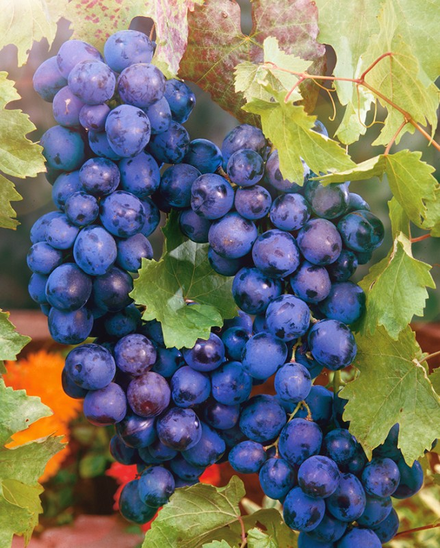 Виноград ТомайскийВиноград<br>Сорт раннего срока созревания, отличного вкуса и незабываемого<br>вида. Грозди причудливой крылатой формы с крупными<br>овальными ягодами красно-фиолетового цвета.<br>