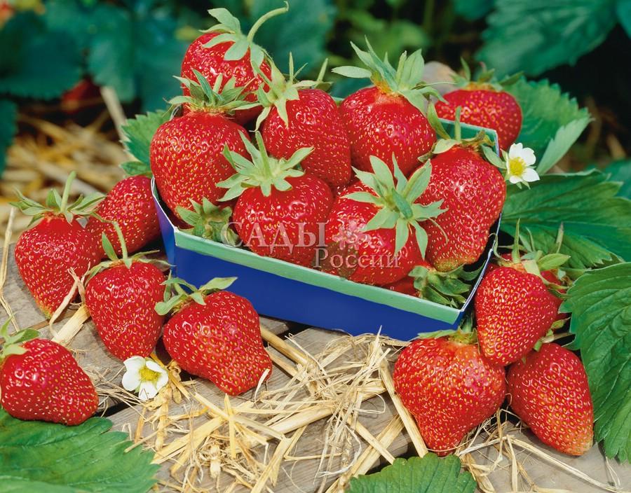 Земляника садовая ИзаураЗемляника поздняя<br>Позднеспелый высокоурожайный сорт. Ягоды крупные, глянцево-красные, достаточно плотные, сочные и сладкие. Хорошо хранятся и транспортируются.<br>