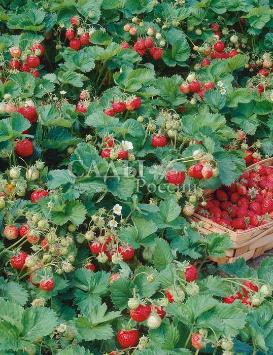 Земляника садовая Эви 2Земляника ремонтантная<br>Высокая урожайность и отличное качество.<br>