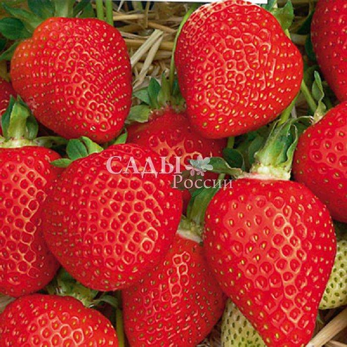 Земляника садовая АзияЗемляника среднеранняя<br>Невероятно привлекательная<br>ягода-пышка, крупная (28-34 г и<br>более), ярко-красная, умеренно<br>плотная, сочная, изумительного<br>сладкого вкуса с лёгкой кислинкой свежести.<br>