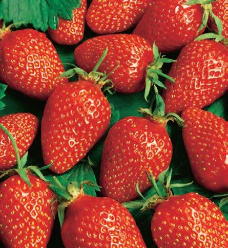 Земляника садовая ФурорЗемляника ремонтантная<br>Очаровательный сорт-фейерверк,<br>нарядный, плодовитый, весь сезон в<br>цветках и ягодах.<br>