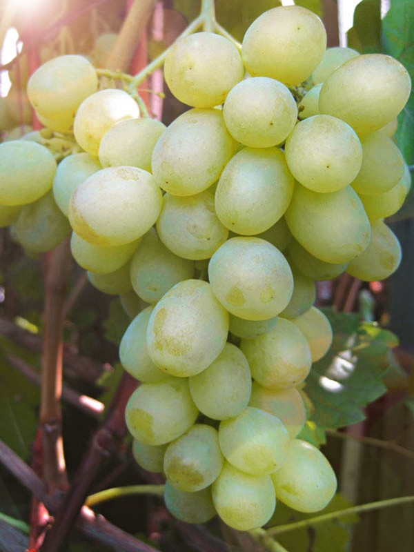 Виноград Фрумоаса АлбеВиноград<br>Это<br>молдавский сорт, и в переводе с молдавского звучит очень<br>красиво — Белая красавица. Один из самых вкусных сортов.<br>