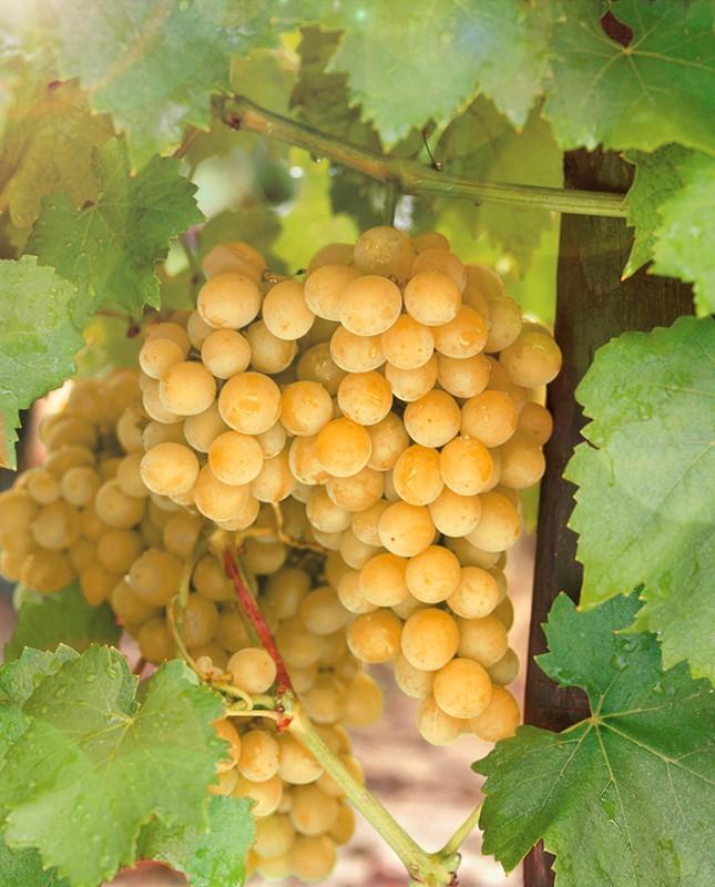 Виноград ЮбилейныйВиноград<br>Отличная<br>зимостойкость. Гроздь конической формы, плотная.<br>