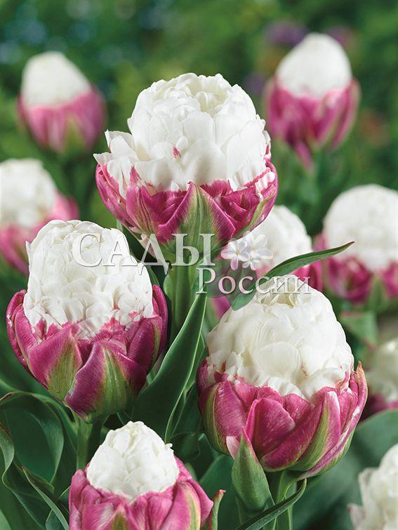 Тюльпаны МороженоеТюльпаны Махровые поздние<br>1 шт.  <br><br>Махровые поздние.<br>