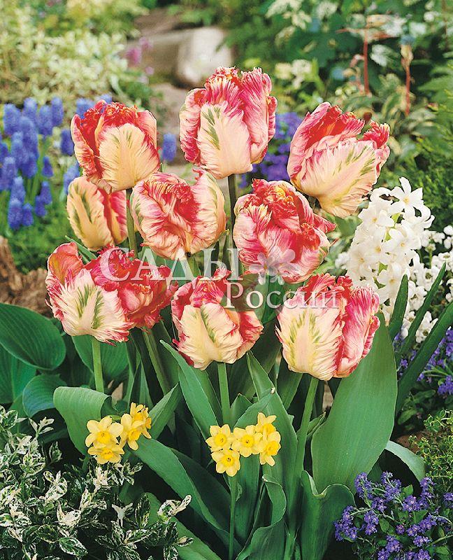 Тюльпаны Абрикосовый попугайТюльпаны Попугайные<br>5 шт.   <br>Попугайные.<br>