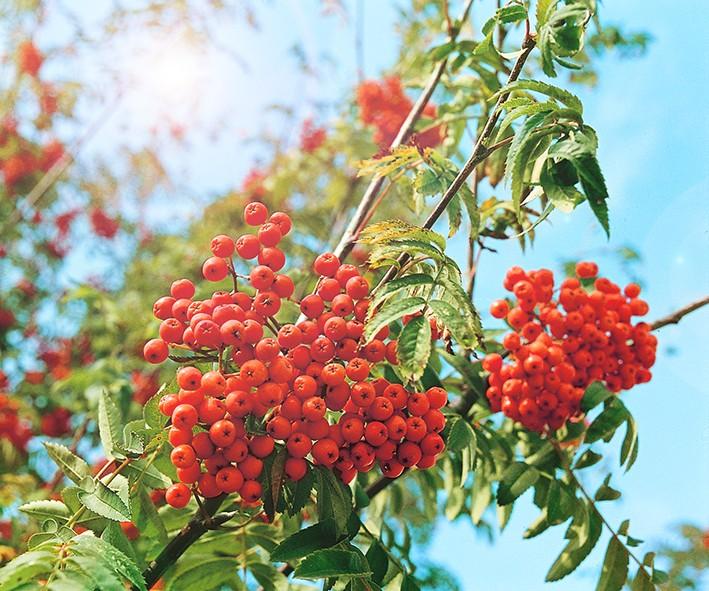 Рябина БусинкаРябина сладкоплодная<br>Плоды средних размеров, масса плода более 1 г. Они совершенно не<br>имеют горечи и терпкости, характерных для ягод рябины<br>обыкновенной.<br>