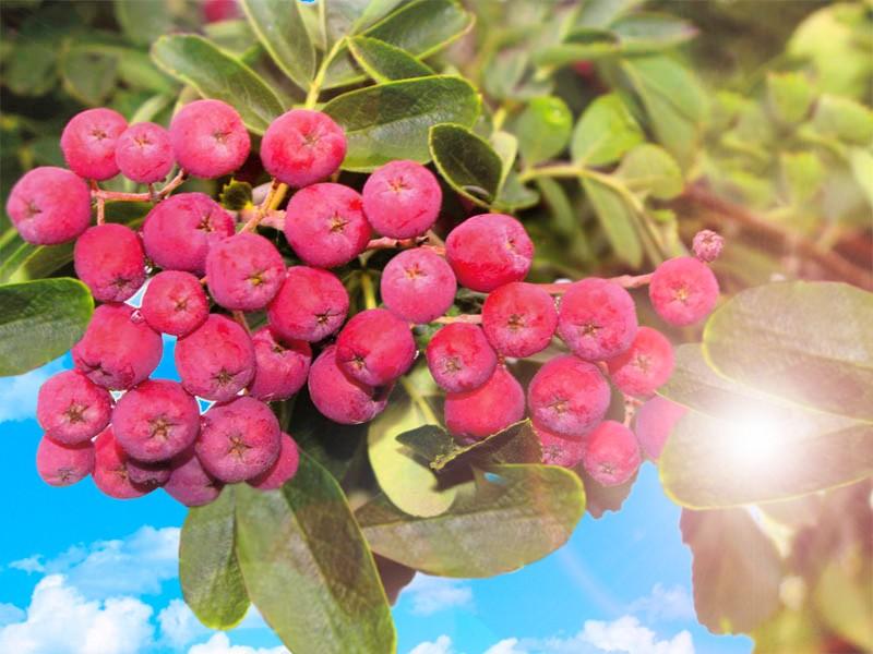 Рябина ГранатнаяРябина сладкоплодная<br>Сорт зимостойкий, урожайный, с самыми крупными плодами<br>размером с вишню бордового цвета.<br>