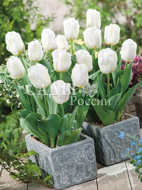 Тюльпаны КалгариТюльпаны Триумф<br>5 шт.  <br><br>Триумф.<br>