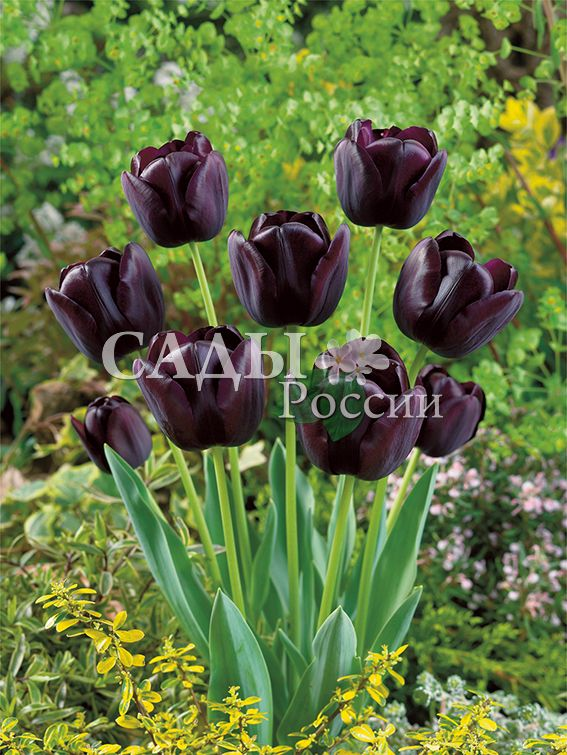 Тюльпаны Королева НочиТюльпаны Поздние<br>5 шт.  <br>  <br><br>Поздние.<br>