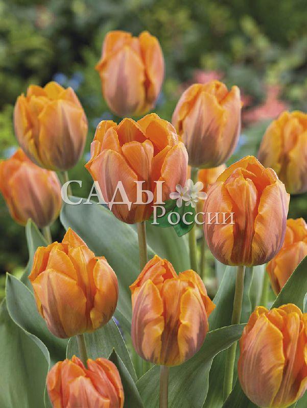 Тюльпаны Принцесса ИрэнТюльпаны Триумф<br>5 шт.  <br><br>Триумф.<br>