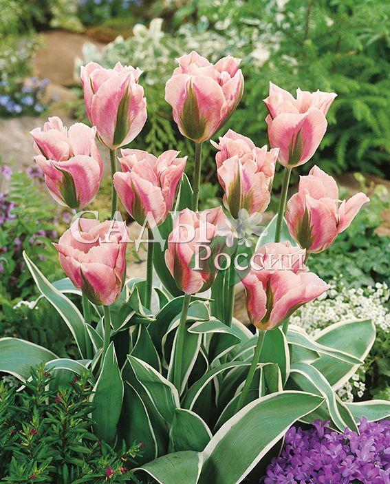 Тюльпаны Китайский кварталТюльпаны Зеленоцветные<br>5 шт.   <br>Зеленоцветные.<br>