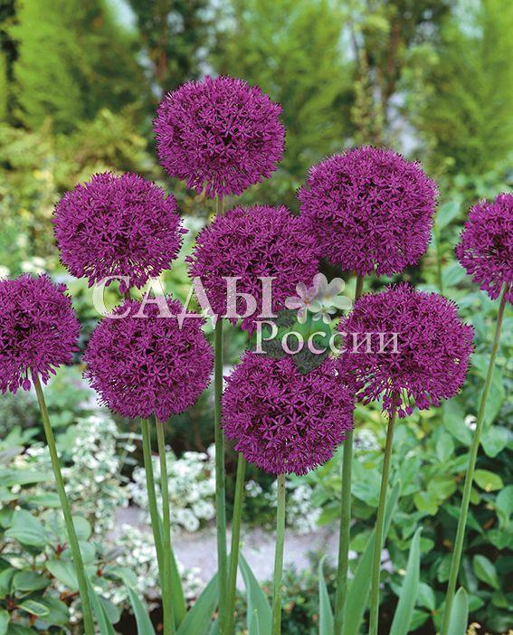 Лук декоративный Фиолетовая СенсацияЛуковичные культуры<br>5 шт.<br>