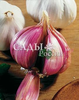 Чеснок озимый КомсомолецЧеснок озимый<br>Самый зимостойкий и один из самых высокоурожайных.<br>Красивые розовые с фиолетовым оттенком крупные<br>луковицы с острым вкусом и запоминающимся ароматом.<br>