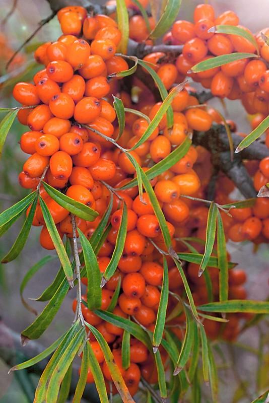Облепиха ЧуйскаяОблепиха<br>Растение невысокое, с редкой раскидистой кроной. Плоды овально-цилиндрические, оранжевые массой 0,9 г на длинной плодоножке.<br>