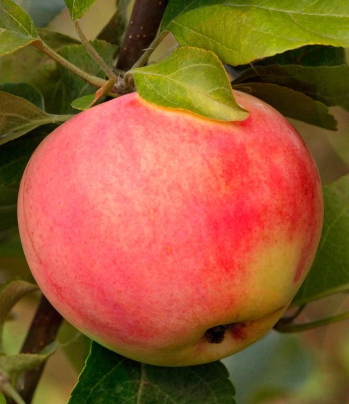 Яблоня Уральское розовоеЯблоня Летние сорта<br>Дерево зимостойкое, рослое, с широкопирамидальной кроной.<br>