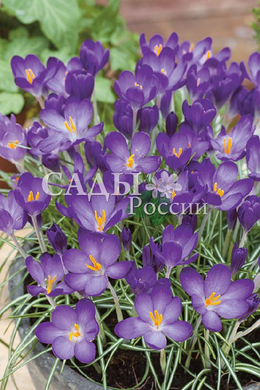 Крокусы Живой фиолетовый