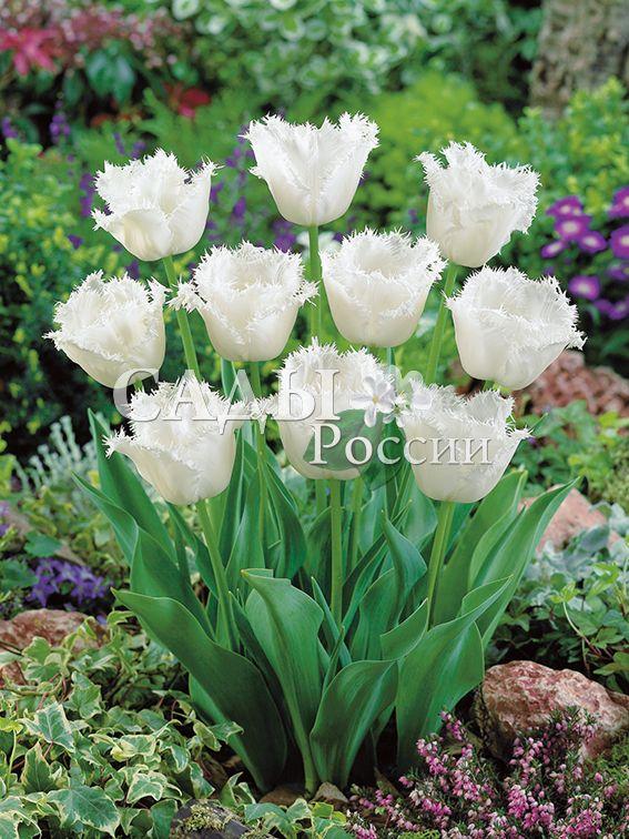 Тюльпаны Медовый месяцТюльпаны Бахромчатые<br>5 шт.  <br><br>Бахромчатые.<br>
