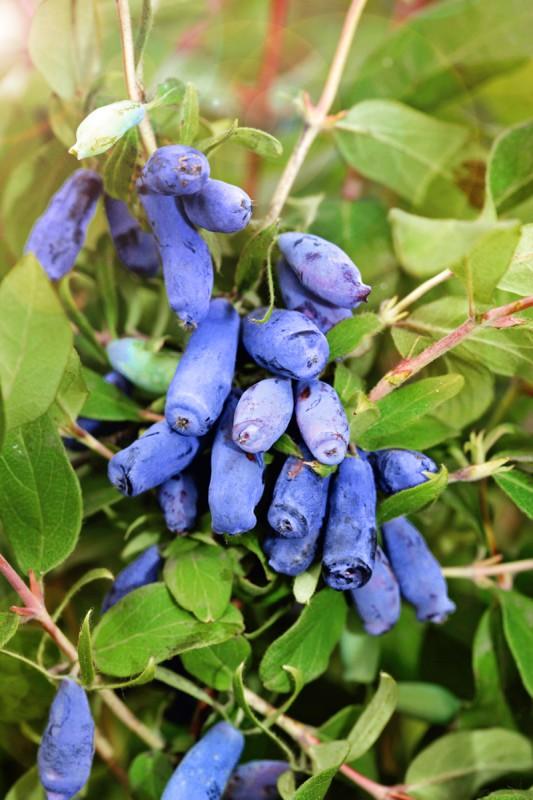 Жимолость МоренаЖимолость<br>Плоды<br>сине-голубые с сильным восковым налётом, удлинённо-кувшиновидные. Вкус кисло-сладкий со слабым ароматом.<br>