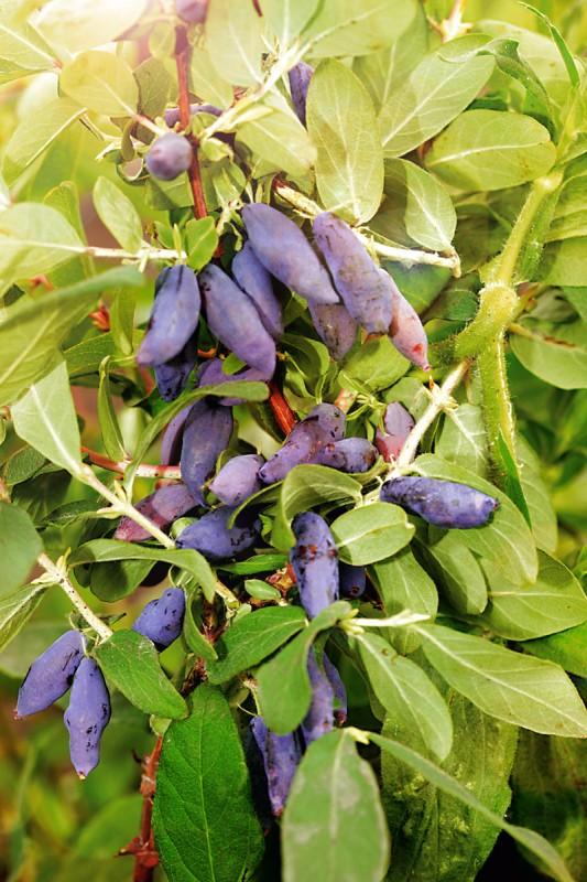 Жимолость НимфаЖимолость<br>Новейший,<br>и на сегодняшний день лучший сорт жимолости. Плоды голубовато-синие с восковым налётом, удлинённо-веретеновидные, крупные.<br>