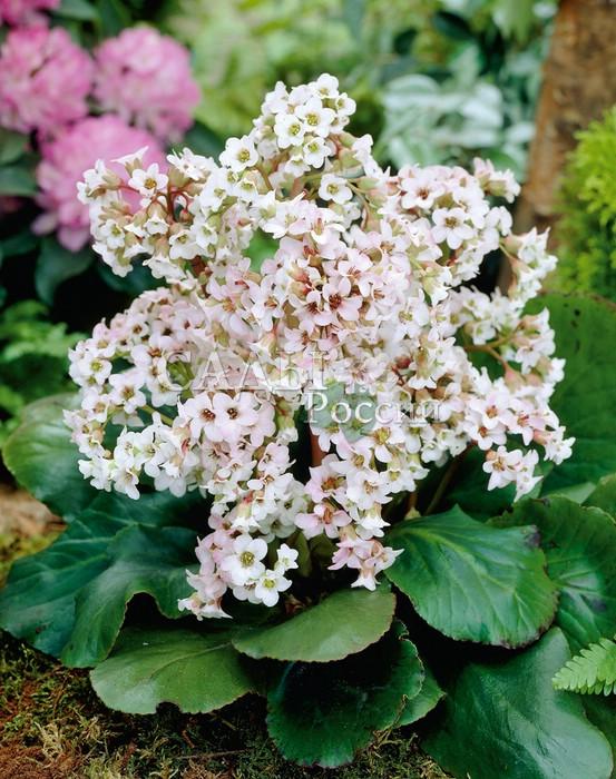 Бадан Белый БрессингемБадан<br>Плотное соцветие изящных белых и слегка розоватых цветков, как букет из<br>жемчуга в обрамлении насыщенной зелени больших и блестящих глянцевых листьев.<br>