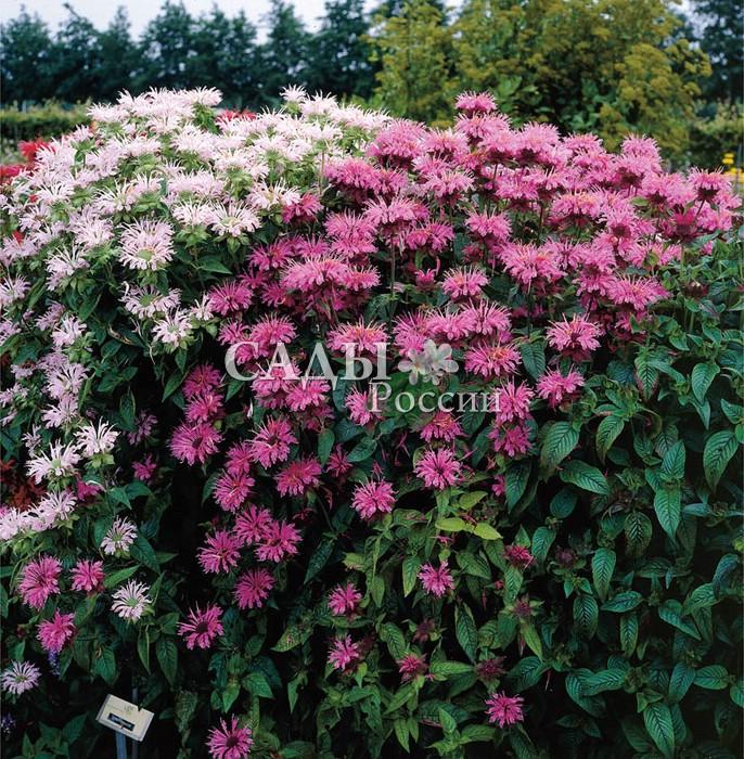 Монарда Набор Пурпурно-белыйМонарда<br>Набор из 2 штук  (1+1). <br>Украсит<br>любую композицию свежестью нежных жемчужно-лиловых и<br>аметистово-розовых пушистых цветков-звёздочек.<br>