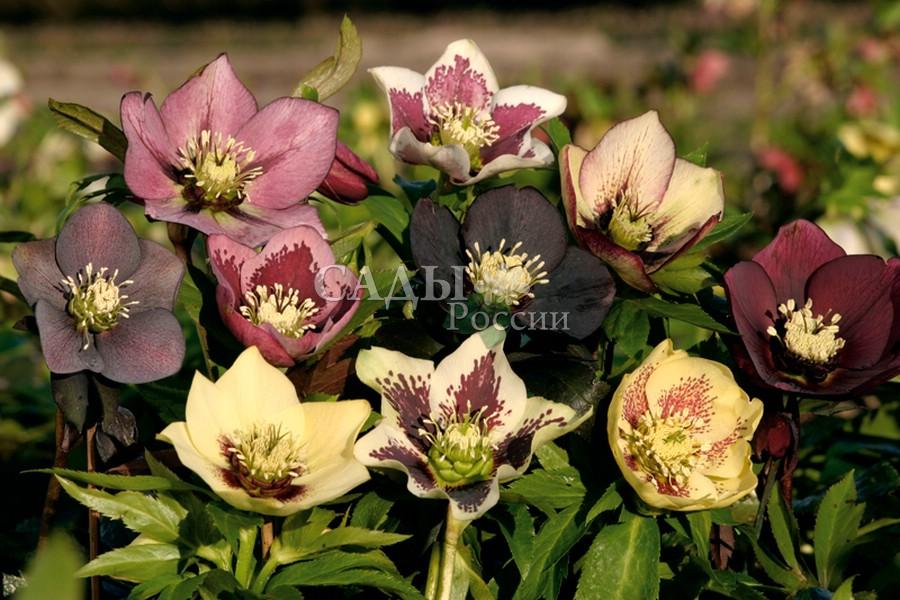 Морозник БаллардМорозник<br>В этом наборе самые популярные<br>гибриды с крупными, 5—10 см в диаметре, живописными<br>цветками. Высота 35—45 см.<br>