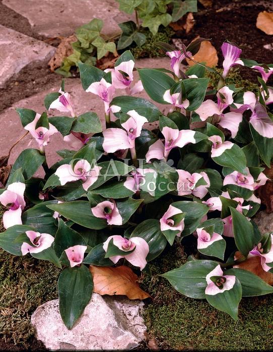 Традесканция Румяная невестаТрадесканция<br>Прелесть, как хороша.<br>Цветки перламутровые с нежными оттенками розовой орхидеи.<br>Очень выразительны на фоне бронзово-глянцевых листьев. Цветёт<br>в июне — августе. Высота 35—40 см.<br>