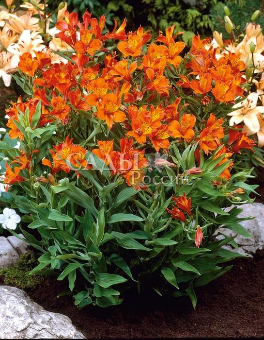 Альстрёмерия Оранжевый корольАльстрёмерия<br>Альстрёмерия (Alstroemeria) — нежная<br>и знойная заморская красавица<br>в средней полосе России прекрасно<br>чувствует себя в оранжереях, зимних<br>садах или комнатной культуре.<br>