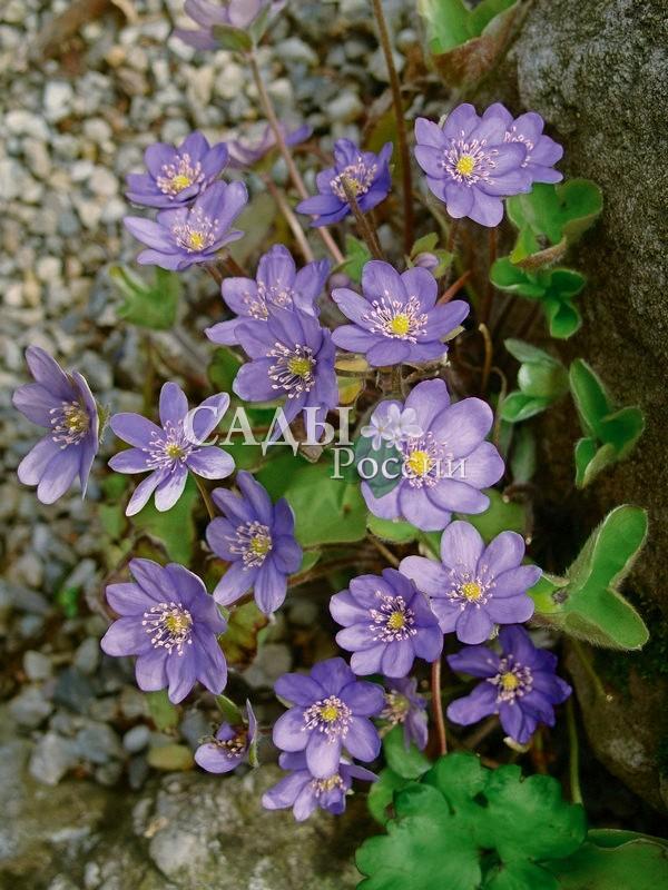 Печёночница Синее сокровищеПечёночница<br>Прелестное мимолетное виденье из самых ранних<br>первоцветов. Особенно красива в групповых посадках.<br>