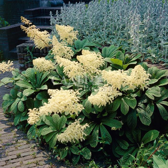 РоджерсияРоджерсия<br>Великолепное декоративно-лиственное многолетнее растение, к сожалению, очень<br>редкое в наших садах.<br>