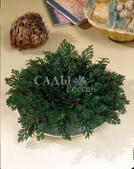 Селагинелла Роза ИерихонаСелагинелла<br>Растение-забава, удивляющее своей способностью<br>сохранять жизнь в самых жёстких засушливых условиях,<br>замирая и свёртывая листья в сухой шарик.<br>
