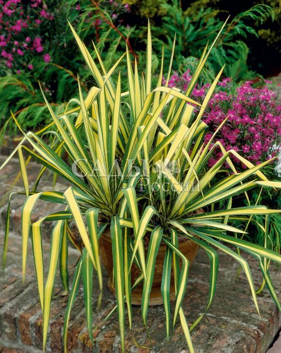 ЮккаЮкка<br>Почти бесстебельное растение с<br>сизо-зелёными листьями до 50 см длиной и 5 см шириной, по краям с выступающими нитями.<br>