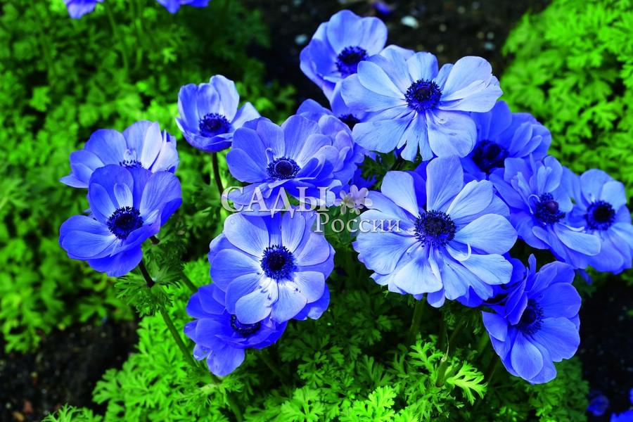 Ветреница Де КаенВетреница<br>Синеокая зазноба. Очаровательные сине-голубые цветки с волнистыми и шёлковыми, как у мака, лепестками, охватывающими<br>бархатный шарик с угольно-чёрными тычинками. Высота 30 см.<br>