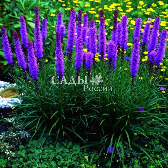 Лиатрис КолосковыйЛиатрис<br>10 шт.<br> <br> <br> <br>Лирическое скромное разнотравье с ароматами мёда и сена.<br>Растение многолетнее, травянистое с пушистыми длинными<br>(до 35 см) соцветиями, цветущими сверху вниз.<br>