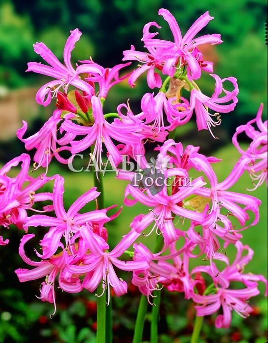Нерина БоуденаНерина<br>С великолепными орхидно-розовыми цветками.<br>