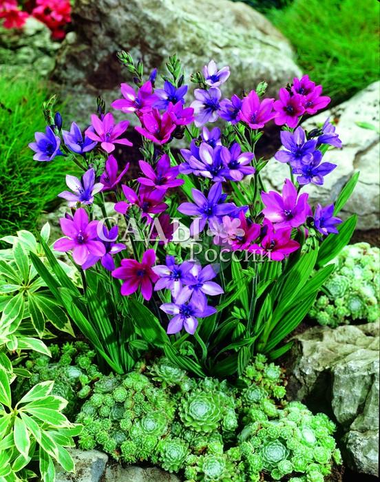 БабианаБабиана<br>10 шт.<br> <br>Аметистовое сияние. Очень привлекательные лиловые, розовато-лавандовые <br>и нежно малиновые цветки с выразительным ярким центром до 5 см в диаметре.<br>