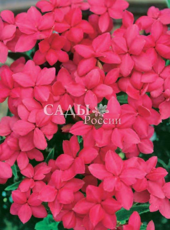 Родогипоксис КрасныйРодогипоксис<br>Очаровательный обитатель альпийских горок. При благоприятных условиях цветёт практически всё лето и<br>успешно зимует в уютном, защищённом от ветра месте,<br>желательно в небольшом углублении.<br>