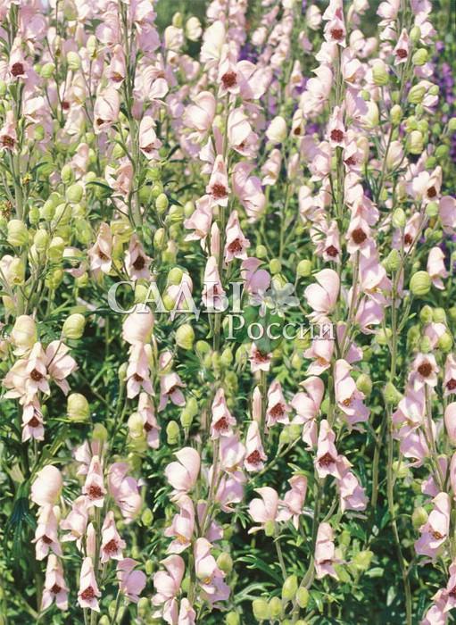Аконит РубеллумАконит<br>Аметистовый рай. Цветки<br>крупные нежно-розовые<br>орхидейных и дымчатолиловых оттенков, собраны в длинные (до 10 см)<br>соцветия. Цветёт в июле-августе. Куст плотный,<br>пирамидальный, высота<br>70—80 см.<br>