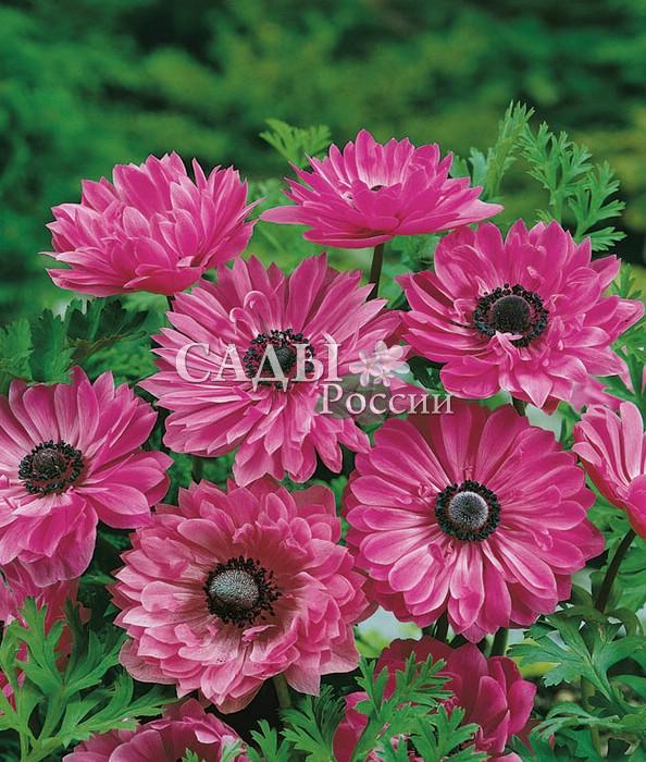 Ветреница АдмиралВетреница<br>Великолепный, насыщенно-розовый,<br>необыкновенно привлекательный сорт.<br>Цветки махровые с контрастным чёрным глазом и нежными тонкими шелковистоатласными лепестками.<br>