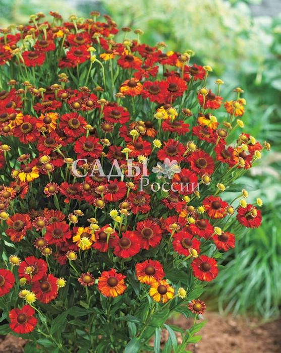Гелениум ЛаваГелениум<br>Искромётная, жаркая, пламенная. Потрясающе<br>эффектный сорт, цветки открытые, обжигающе огненные, с жёлто-оранжевыми всполохами на карминно-красном зареве лепестков.<br>