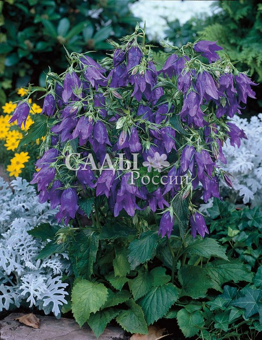 Колокольчик гибридный Кент БелльКолокольчик<br>Умопомрачительный красавец. Крупные, до 8 см длиной, цветки околдовывают насыщенной, отливающей синевой тёмно-пурпурной окраской,<br>идеальной формой и неповторимым обаянием.<br>