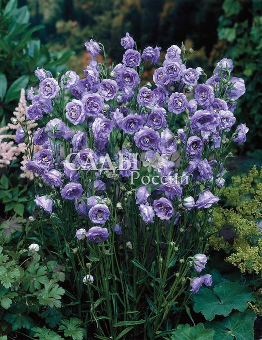 Колокольчик персиколистный Красивый голубойКолокольчик<br>Восхитительный, невероятно выразительный<br>и обаятельный<br>колокольчик с крупными махровыми хрустально-голубыми цветками. Цветёт с июля<br>до осени. Высота куста до 60, диаметр около 40 см.<br>