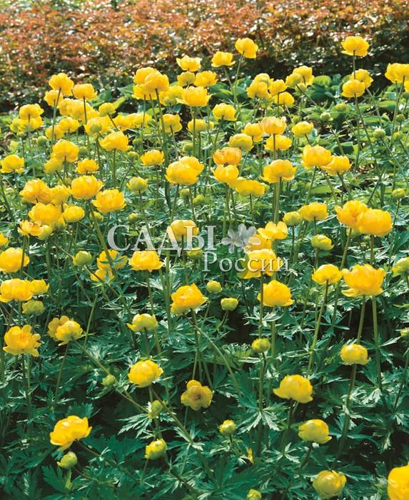 Купальница Золотая королеваКупальница<br>Когда цветёт купальница, солнце сходит на землю, ласкает тонкими лучами<br>шёлковые атласные лепестки и наполняет их своим золотисто-огненным<br>сиянием.<br>