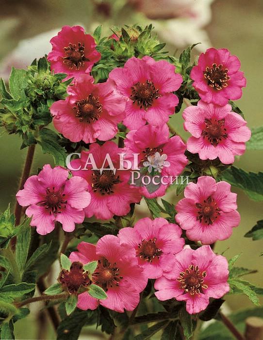 Лапчатка Мисс ВилмотЛапчатка<br>Восхитительные насыщенно-розовые цветки до 3 см в диаметре с тёмным пурпурным, чётко выраженным жилкованием, сгущающимся к центру чёрной вуалью, околдовывают<br>с первого взгляда.<br>