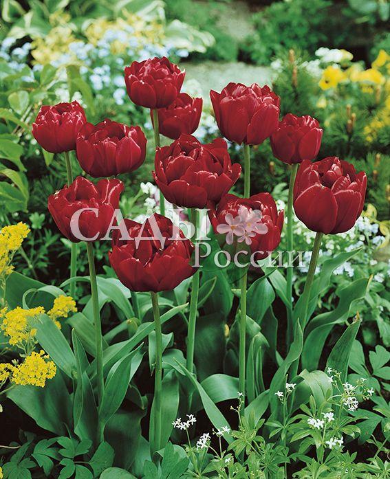 Тюльпаны Дядя Том